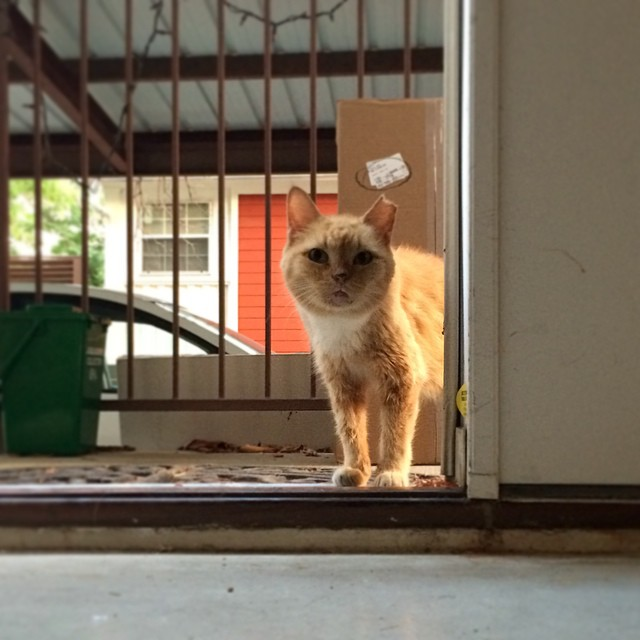 This little guy is Fatface. He's a feral #cat who has lived in our neighborhood for a few years. I'm taking over feeding him from our neighbor, and he's warmed up to us. He waits outside our door day and night for food, and meows with a gravelly squeak. He's now interested in coming into the house, but sometimes he's hesitant. Tonight we sat and stared at each other in the doorway.