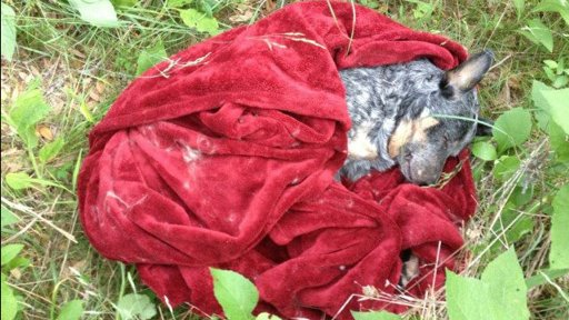 ht Cisco dog killed by cop thg 120416 wmain Justice for Cisco: Dog Killed by Austin Police  social media featured austin  Michael Paxton Justice for Cisco featured Cisco Blue Heeler Austin police shoot dog Austin police APD