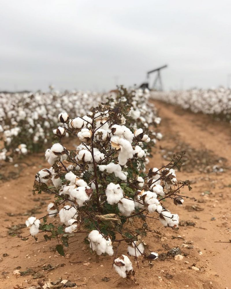 Cotton fields amp oil pumps WestTexas